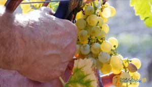 Vendemmia a Dorgali: tra cannonau e vermentino